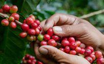 Planta del café (Foto. Estetic)