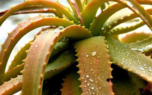Aloe vera, el aliado perfecto para cuidar la piel