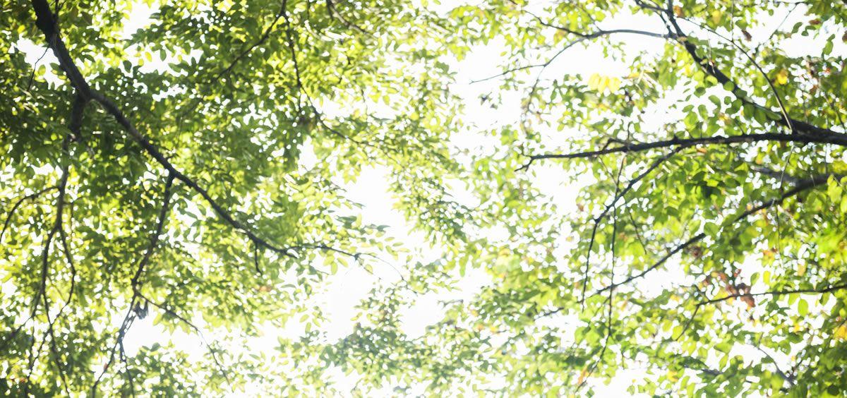 El tepezcohuite o mimosa tenuiflora es conocido en México como el árbol de la piel