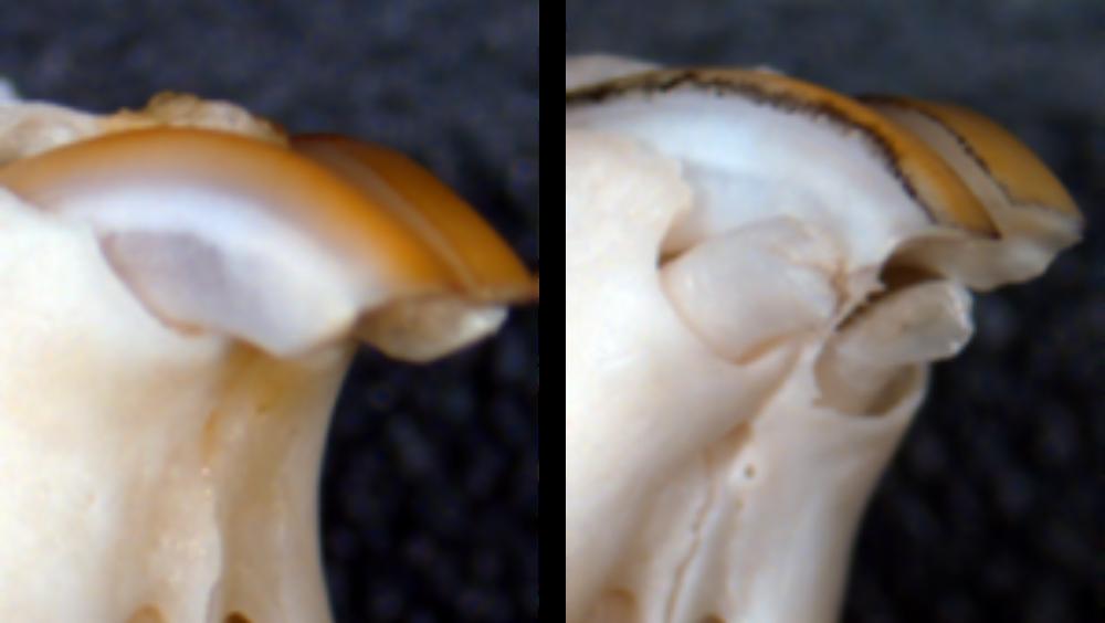 Regeneración de dientes (Foto. University of Fukui)