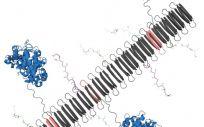El gráfico muestra la nanofibra peptídica que lleva la proteína del complemento C3dg (azul) y los componentes clave de la proteína TNF (Foto: Chelsea Fries)