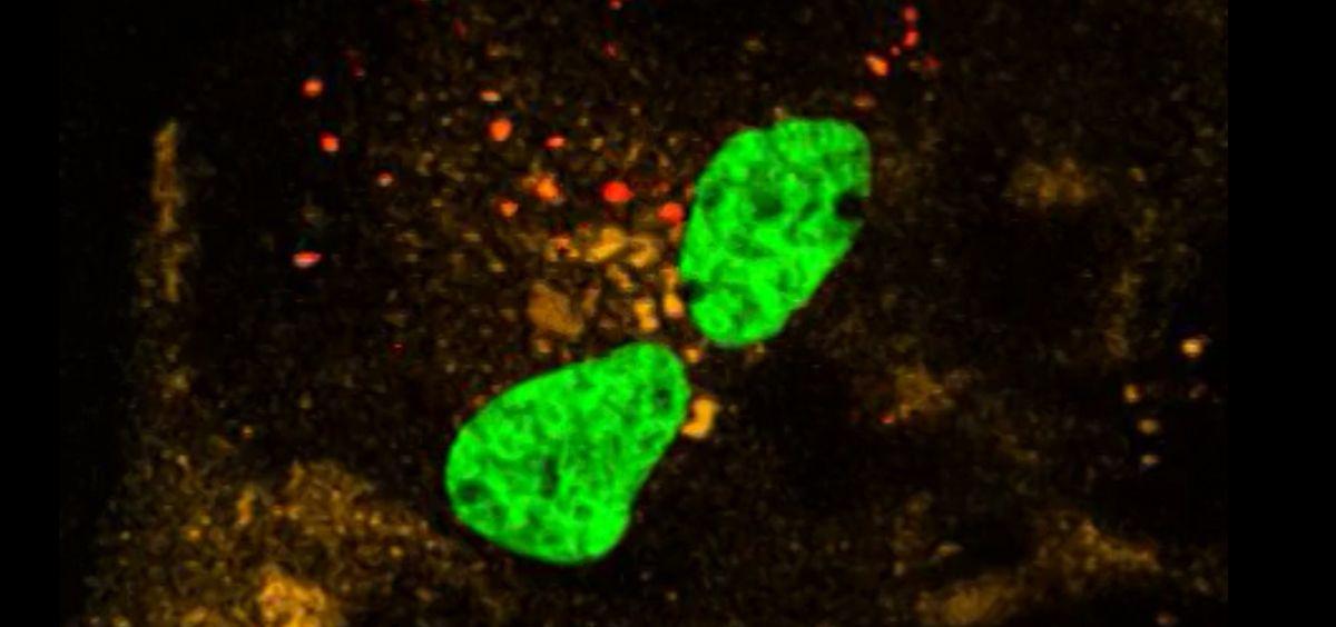 Idean una forma de seguir el ARN mensajero con fluorescencia para conocer la captación celular en humanos (Foto. Chalmers)