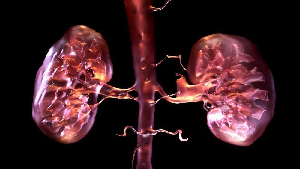 Imprimen en 3D tejido renal que se comporta como el natural