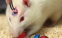 Sin necesidad de recurrir a la cirugía, la luz permite manipular el cerebro de los ratones.