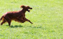 Perro paseando (Foto. Freepik)