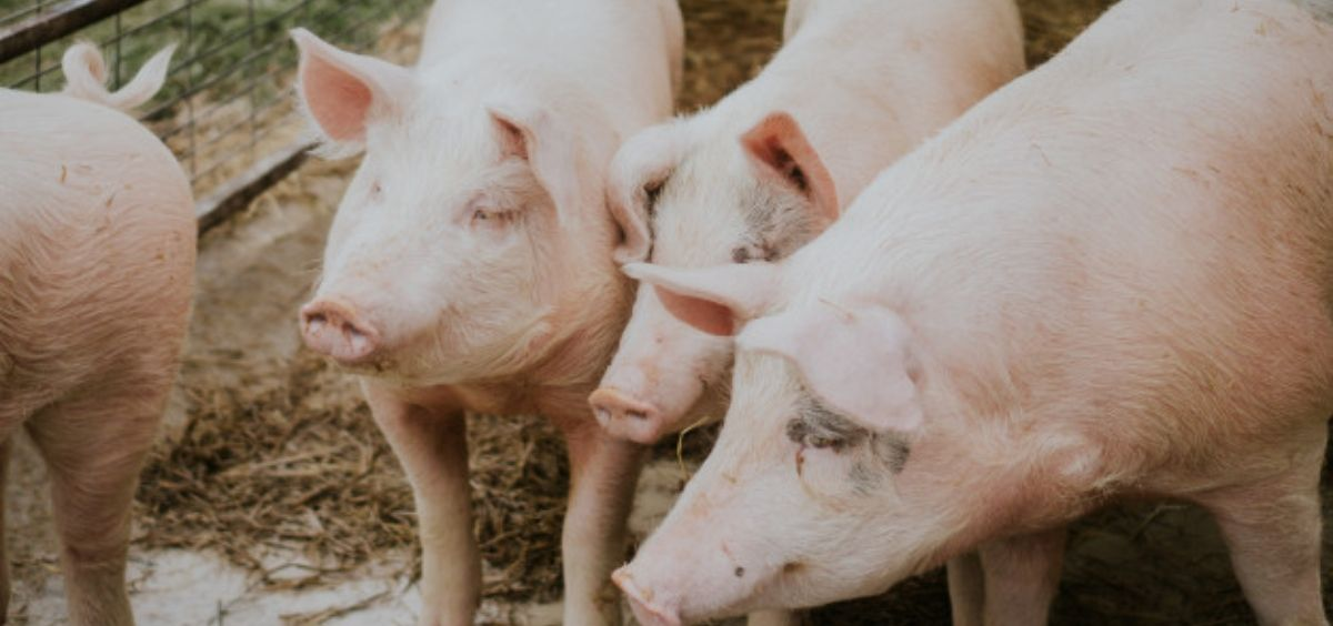 El estudio analizó los virus de la influenza encontrados en cerdos entre 2011 y 2018 (Foto. Freepik)