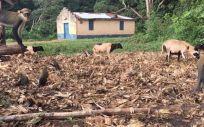 Los primates y el ganado exploran los terrenos fuera de una residencia en Ghana. (Foto. TERRA KELLY, UC DAVIS)