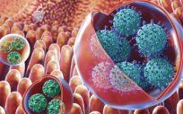 Vesículas que contienen grupos de virus, incluido el norovirus, dentro del intestino (Foto. GW NIH)