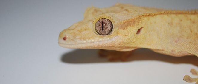 Gecko enlutado, una especie de lagarto utilizada en el estudio. (Foto. Laboratorio de Thomas Lozito. USC)