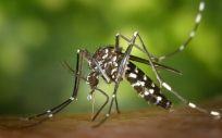 La Consejería de Salud de Murcia informa cómo evitar la proliferación del mosquito tigre