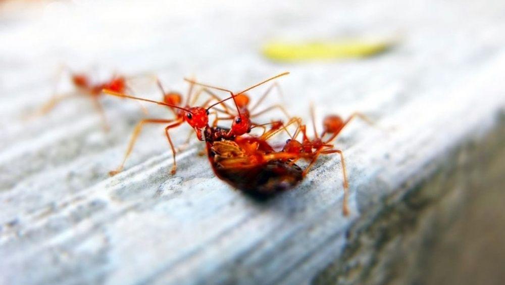 El veneno de una hormiga puede reducir los síntomas de la psoriasis