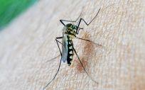 El mosquito común también podría transmitir zika según una nueva investigación