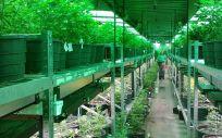 Varios partidos políticos coinciden en legalizar el uso terapéutico del cannabis en España