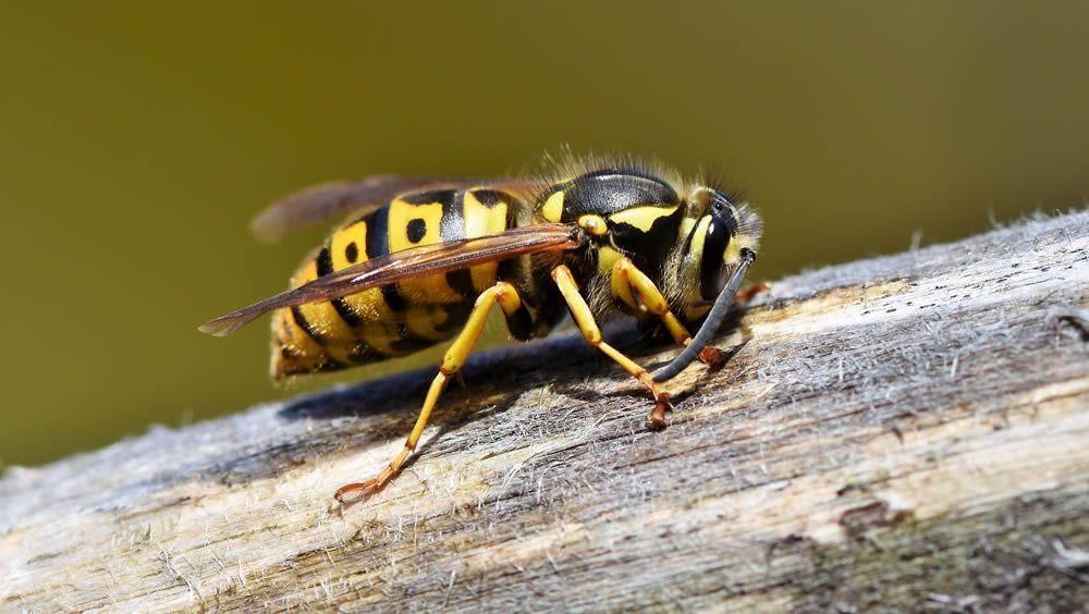 El alergólogo, clave tras sufrir una picadura de avispa o abeja