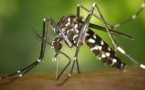 El mosquito tigre actúa como vector de varias enfermedades, entre ellas el chikungunya