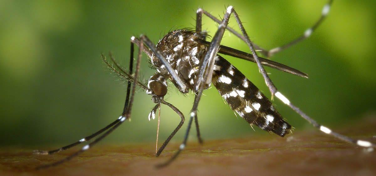 Los expertos a nivel nacional alertan también del mosquito tigre (en la foto), especie común en verano capaz de transmitir graves enfermedades