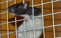 Las ratas son animales habituales en los trabajos experimentales de muchas entidades científicas