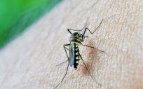 Mosquito (Foto. Pixabay)