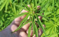 Cánada, México, Colombia, Argentina, Chile, Italia, Alemania, Austria, Holanda o Dinamarca, son algunos de los países que ya han legalizado el uso medicinal del cannabis.