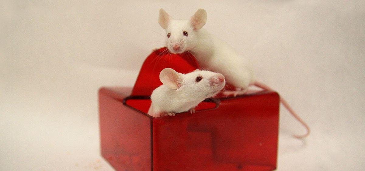 Los ensayos previos en animales tienen como objetivo comprobar que el tratamiento es seguro y eficaz